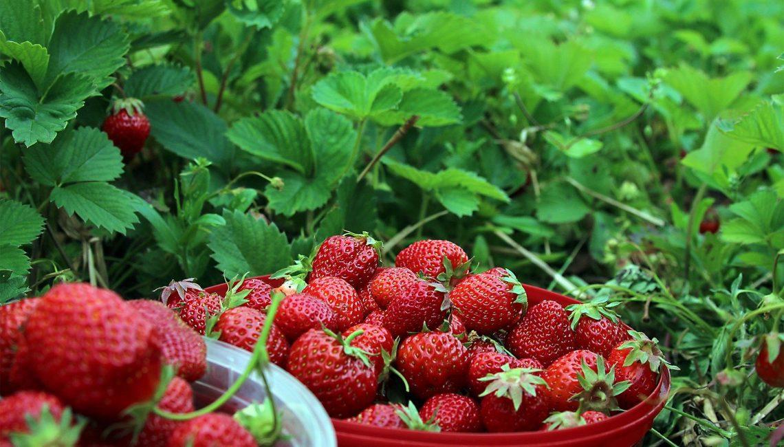 Strawberries 1467902 1920